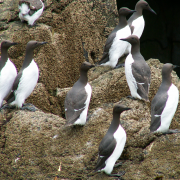 Guillemots on Ramsey Island