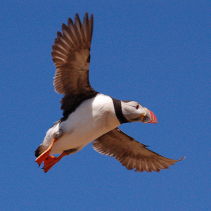 Puffin in flight, Pembrokeshire's Ramsey Island