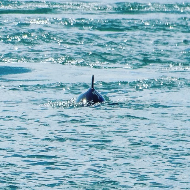 Brilliant sightings of harbour porpoise yesterday. We switched off the engines and drifted through their feeding ground with the tide. It was so quiet that we could here them 'puffing' as they came up to breathe. Photo by @andthehare #AWildlifeExperience