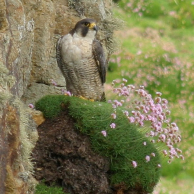 Peregrine Falcon on Ramsey