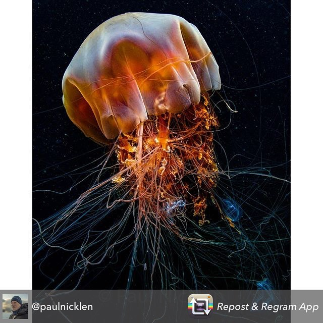 Most amazing lionsmane shot from @paulnicklen using @RepostRegramApp - If you fancy the chance of seeing one of these, hop on a trip with us, we see them in our waters fairly often. Up close and personal with a lion's mane jellyfish along the coast of British Columbia. The largest lion's mane jellyfish ever recorded was over 7 feet across the bell and had tentacles over 120 feet long.  I have come out of dives in bc and have been stung as I pull off my drysuit.  I must have swam through their tentacles without seeing them.  #nature #naturelovers #happy #photooftheday #picoftheday @thephotosociety