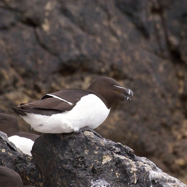 Razorbills! We have seen our 1st razorbill chick on Ramsey this year and it looked quite big, which means they won't be up on their breeding ledges on the island for much longer. Hop on a trip to come and see them before they head out to sea for a while