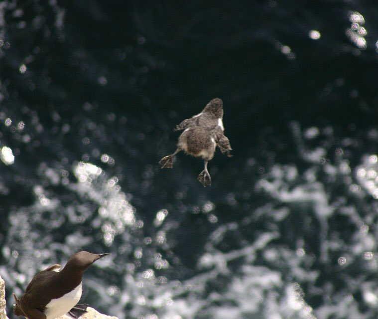 Guillemot chicks have an exciting childhood! A chick taking a leap of faith to leave the breeding ledge and head out to sea. At this point the chicks can't fly, but hop down into the water where they can dive and swim away from danger. Picture by CEH Seabirds.