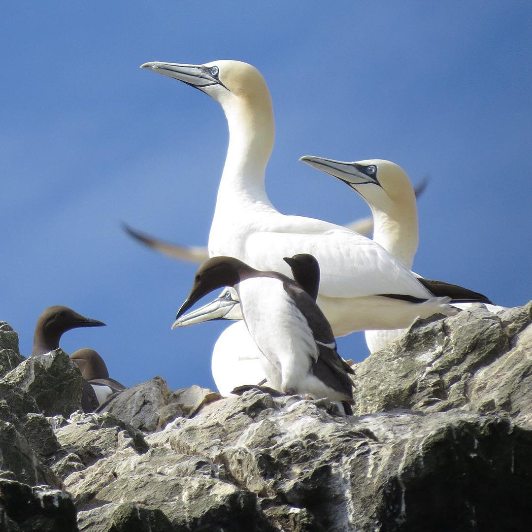 Guillemots on Grassholm pretending to be gannets! The guillemots nest in amongst the gannets as the gannets tend to be a big deterrent for predators such as greater black back gulls. Clever guilles!  Photos by Pete Hellon