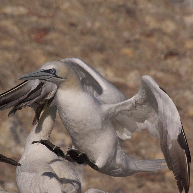 Aaaaah Grassholm, land of gannets, land of smell! Good luck to Ramsey Island RSPB Centre wardens on their gannet logging trip today. If you fancy experiencing this sensory wonder for yourselves, hop on to our seabird, whale and dolphin expedition.