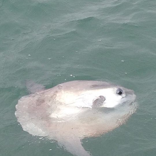 So our latest excitement on Friday was provided by our first sighting this year of one of these strange creatures at the north end of Ramsey Island!  Sunfish, or mola mola, are the world's heaviest bony fish and whilst we usually only see little ones this far north, in warmer waters they can grow to an immense 3.2m and weigh up to 2300kg.