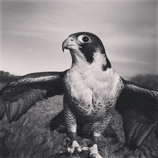 This morning this photo popped up on my feed and reminded me of my journey with Hiss the Falcon, it was the first time she flew any distance to my fist.  It was such an amazing experience to train a  wild peregrine and I can't help but wonder where she is now!  If you want to know more about the story that inspired the naming of the company, check out the link below. Thanks to Jackie Morris  https://www.theguardian.com/childrens-books-site/gallery/2015/may/03/jackie-morris-peregrine-falcons
