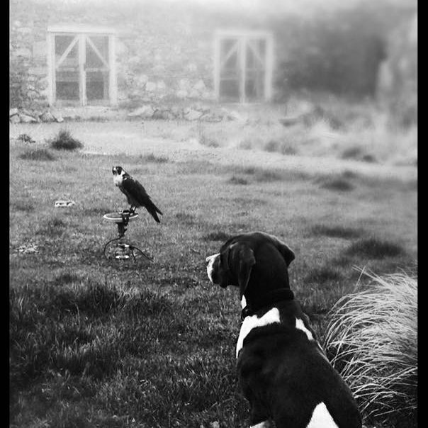 Hiss and Ketchup, the pointer! Love this photo, it was all part of acclimatising her to her surroundings! The peregrine rather than the pointer! Before I took her on, I had no idea there was so much involved in falconry. All the trickier as she was a fully wild bird.