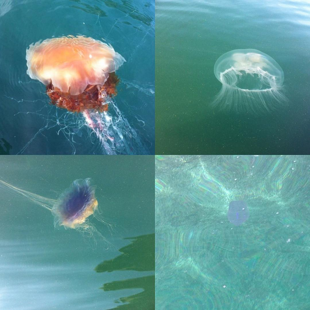 "We have decided to stick with the collective nouns theme.  Did you know that the collective nouns for jellyfish are a fluther or a smack, also they have the best welsh name 'pysgod wibbly wobbly"". Here are some pictures of some our regular visitors.  Amazing jellyfish fact - the lions mane jellyfish, often found in Arctic waters, has as many as 1200 tentacles that can grow to a phenomenal 120 feet long."