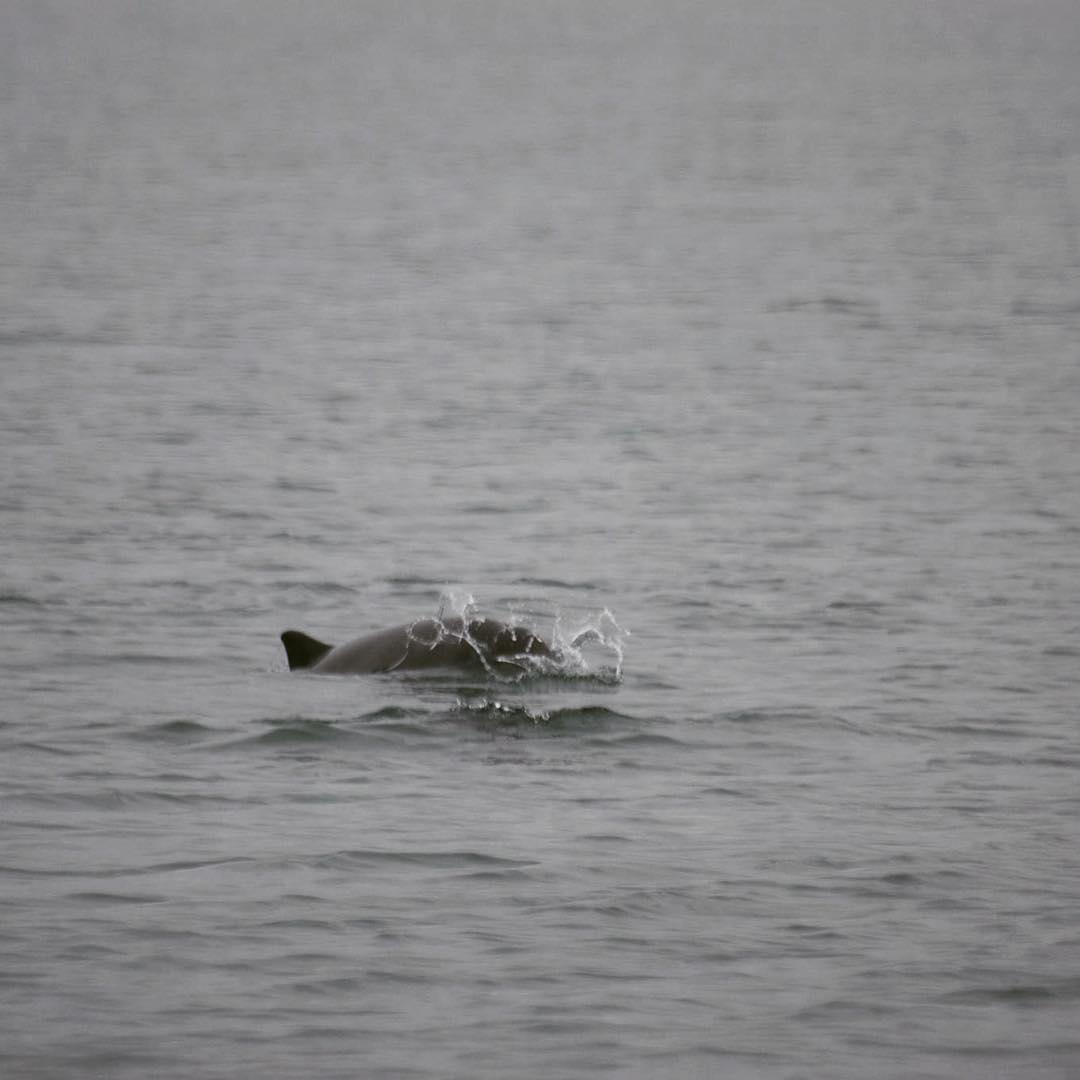We have been having fantastic sightings of our harbour porpoise this week.  Interesting facts about porpoise - according to a recent paper, they will forage nearly continuously day and night and attempt to catch up to 550 small fish every hour, with a 90% success rate. This has led to them being referred to as 'aquatic shrews'. #porpoise #Ramsey sound