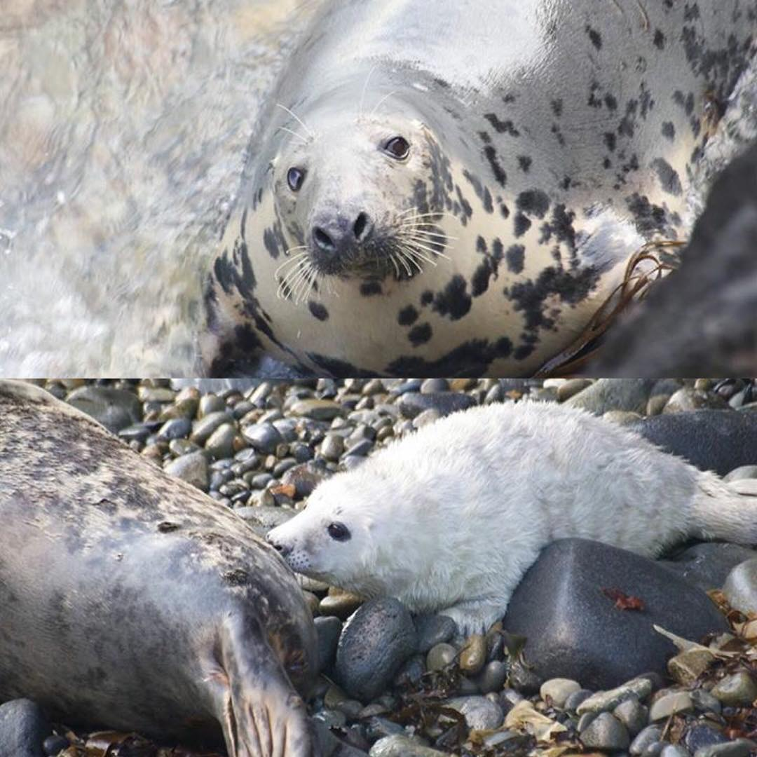 It's that time of year again, seal pups are appearing on Ramsey's beaches and growing fast.  To give you an idea of how fast they grow, they are born at 90-105cm in length and weigh 10-18kg. The female will then feed her pup for a sum total of three weeks and in this short amount of time the pup will triple its birth weight, gaining an average of 2kg per day, fed on one of the richest mammal milks known to man, at about 60% fat.  At 3 weeks old however, childhood is over and they are weaned and abandoned.  Yesterday we saw a pup having its first swimming lesson which is always entertaining as they are not very adept swimmers initially. #sealpup