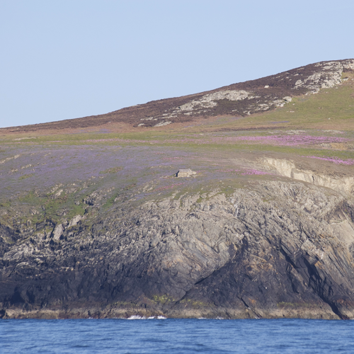 Bluebells, spring squill and thrift on Ramsey Island, Pembrokeshire