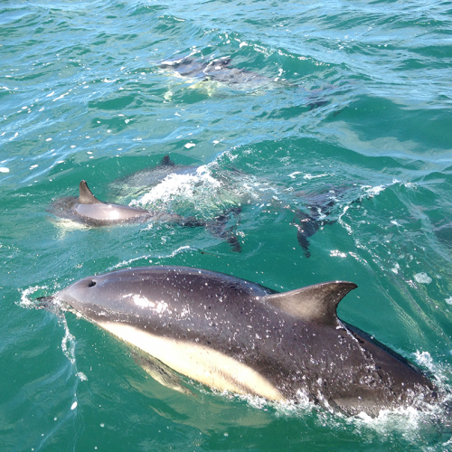 Dolphins in Pembrokeshire