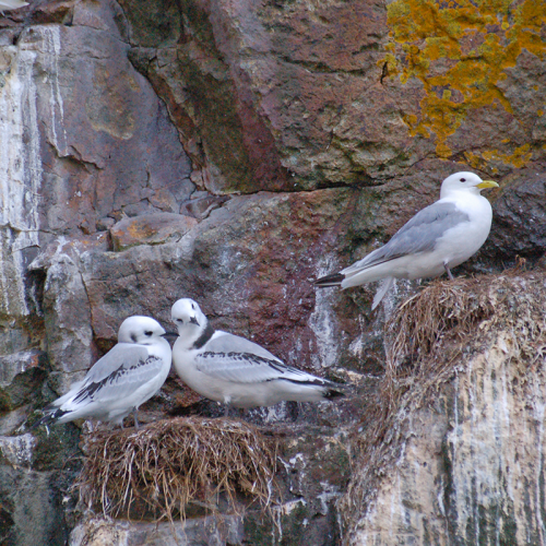 Juveniles on the nest, Ramsey Island.